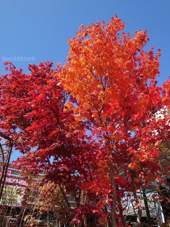 もみじ。紅葉。