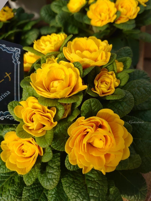 プリムラ「ベラリーナ」宿根、八重咲き