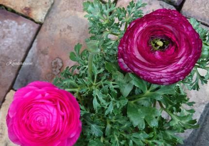 ラナンキュラス。花色鮮やか。