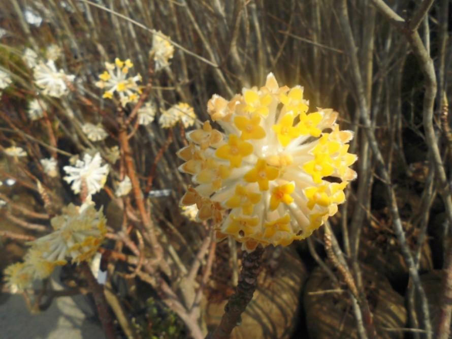 春の花、ミツマタ、花、植木、飯田市ガーデニング、施工