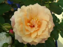 飯田市庭作りオススメのバラ
