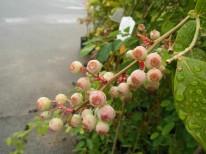 飯田市庭づくりおススメの植木