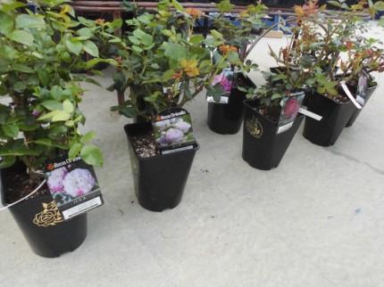 デルバールバラ、バラの苗入荷中!初心者でもおすすめ耐病性もあって香りもいい、飯田市庭つくり、外構工事、ガーデン、ガーデニング