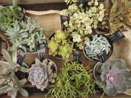 多肉植物、お手入れ簡単多肉植物、寄せ植えにしても可愛い、たくさん入荷しています、飯田市庭つくり、外構工事、ガーデン、ガーデニング