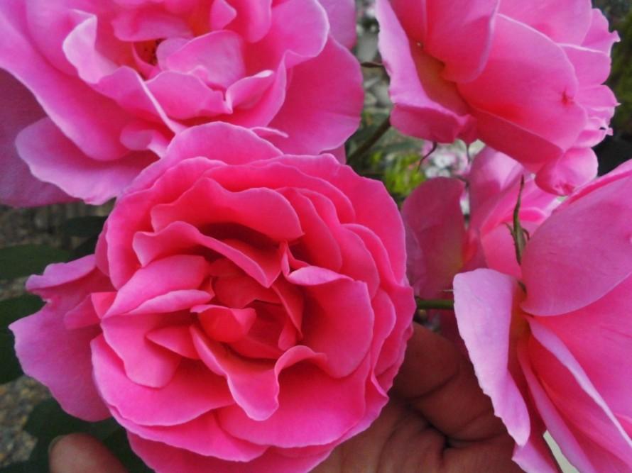 デルバールのバラ入荷しております 飯田市でお庭のことなら何でもお気軽にご相談ください