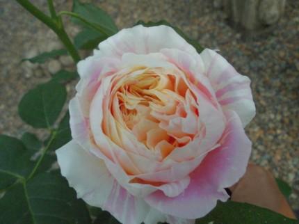 クロード・モネ、ジェネラシオン・ジャルダン、デルバールバラ、病気に強く四季咲きのデルバールばら、飯田市庭つくり、外構工事、ガーデン、ガーデニング