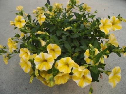 スーパーベル、春から秋まで長く楽しめるお花スーパーベル、スーパーチュニアビスタ、夏の暑さにも負けないビスタ、秋までしっかり見れるビスタ、鉢植えにも花壇にもおすすめ、飯田市庭つくり、外構工事、ガーデン、ガーデニン