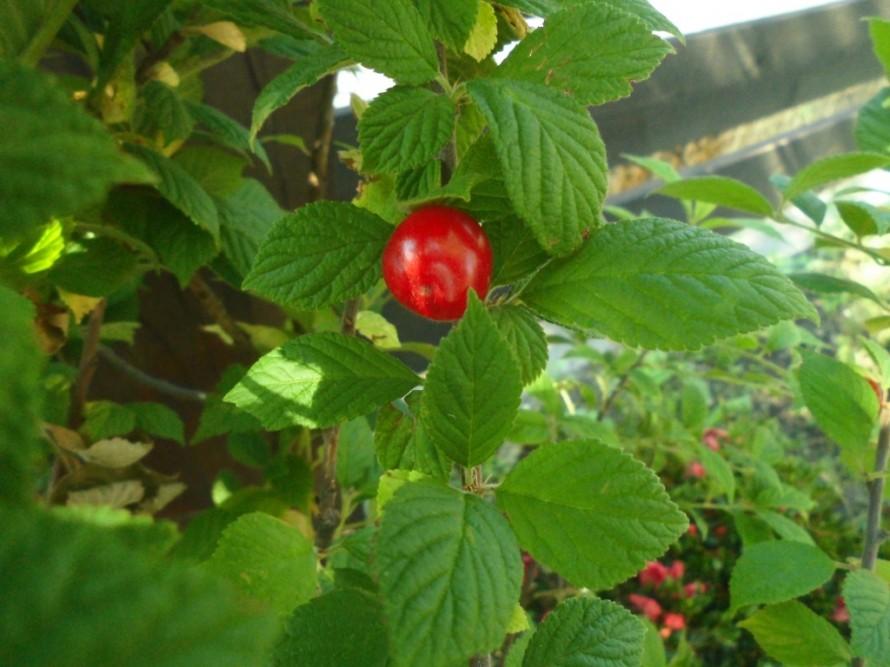 赤実ゆすらうめ、果樹苗、控えめな甘さとほのかな酸味があるユスラウメ、春に可憐な花をつけ鈴なりの赤い実が美しいユスラウメ、樹はあまり大きくなりすぎません、飯田市庭つくり、外構工事、ガーデン、ガーデニング