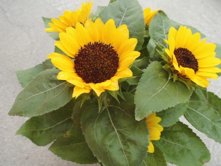 ミニひまわり小夏、小さいひまわり、花粉が飛びにくい品種のひまわり、アジサイ、ハイドランジアアポロン、庭植えにもおススメ、毎年楽しめるお花、半日陰でもすくすく育つアジサイ、飯田市庭つくり、外構工事、ガーデン、ガーデニング