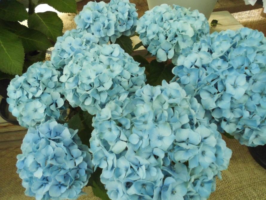 アジサイ、ハイドランジアアポロン、庭植えにもおススメ、毎年楽しめるお花、半日陰でもすくすく育つアジサイ、飯田市庭つくり、外構工事、ガーデン、ガーデニング