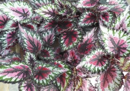 レックスベゴニア、観葉植物で夏を涼しくお部屋にグリーンを、飯田市庭つくり、外構工事、ガーデン、ガーデニング