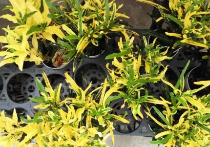 クロトン、レックスベゴニア、観葉植物で夏を涼しくお部屋にグリーンを、飯田市庭つくり、外構工事、ガーデン、ガーデニング