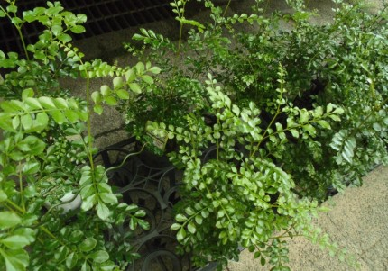 シマトネリコ、クロトン、レックスベゴニア、観葉植物で夏を涼しくお部屋にグリーンを、飯田市庭つくり、外構工事、ガーデン、ガーデニング