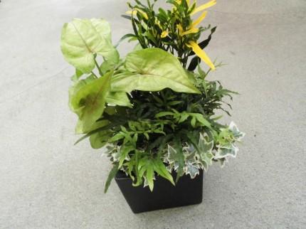 観葉植物の寄せ植え、ガーデニング教室もやってます、ラセンイ、シマトネリコ、クロトン、レックスベゴニア、観葉植物で夏を涼しくお部屋にグリーンを、飯田市庭つくり、外構工事、ガーデン、ガーデニング