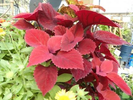 夏の暑さにも負けないコリウス、秋までしっかり見れるコリウス、どんどん大きくなります、寄せ植えにもおすすめコリウス、飯田市庭つくり、外構工事、ガーデン、ガーデニング