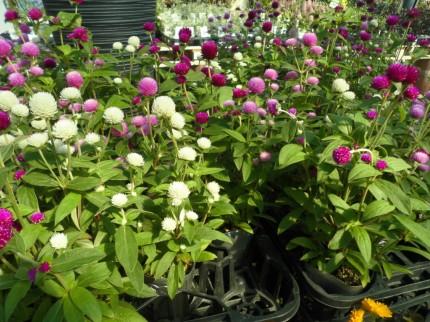 夏の暑さにも負けない千日紅オードリー、二色植えでしっかり楽しめます、ドライフラワーにもおすすめ千日紅、夏の暑さにも負けないコリウス、秋までしっかり見れるコリウス、どんどん大きくなります、寄せ植えにもおすすめコリウス、飯田市庭つくり、外構工事、ガーデン、ガーデニング