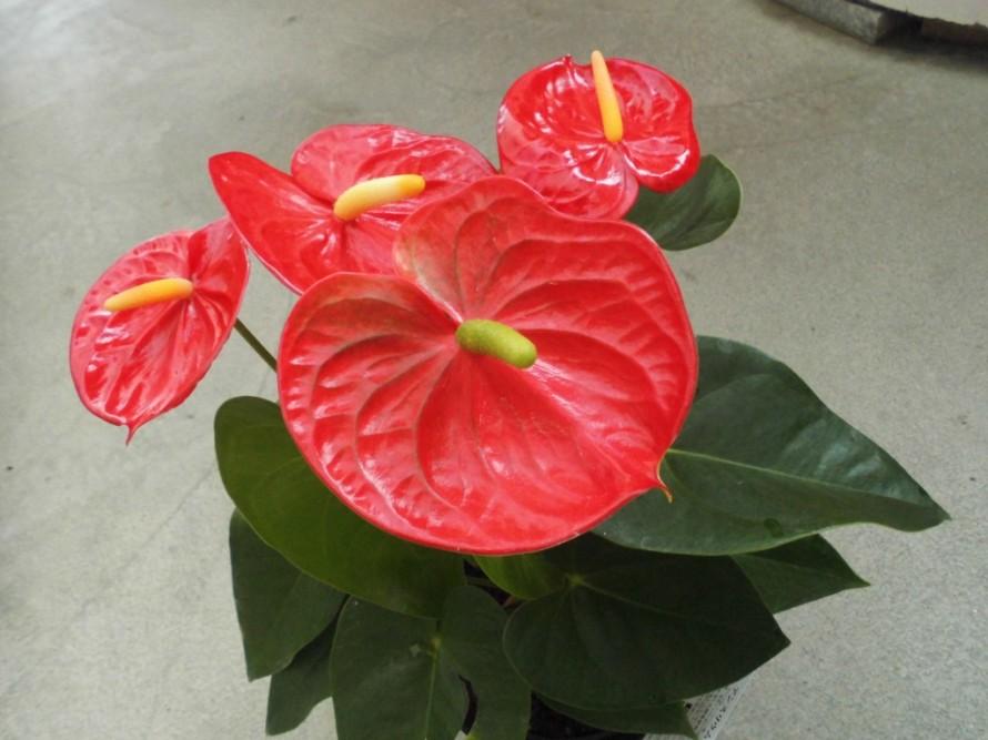 暑さに強く花持ち抜群のアンスリウム、お中元にもおすすめアンスリウム、飯田市庭つくり、外構工事、ガーデン、ガーデニング