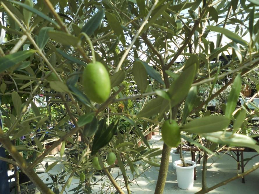 オリーブの実がつきました、シルバーの葉っぱが素敵なオリーブたくさん入荷しています、おしゃれなオリーブ、飯田市庭つくり、外構工事、ガーデン、ガーデニング