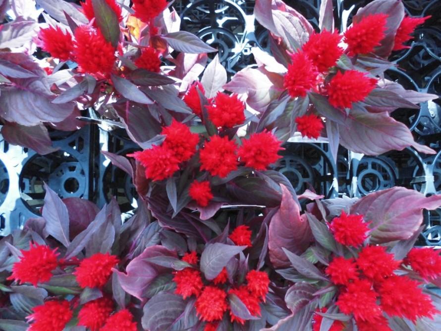セロシア火祭り、秋の寄せ植えにぴったりのケイトウ入荷、燃えるような赤が魅力的です、飯田市庭つくり、外構工事、ガーデン、ガーデニング