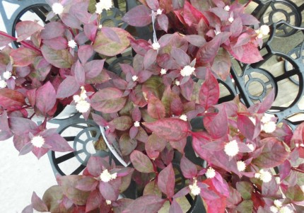 アルテルナンセラ、レッドフラッシュ、秋の寄せ植えをおしゃれにしてくれます、白い花をつけ赤葉の千日紅です、セロシア火祭り、秋の寄せ植えにぴったりのケイトウ入荷、燃えるような赤が魅力的です、飯田市庭つくり、外構工事、ガーデン、ガーデニング