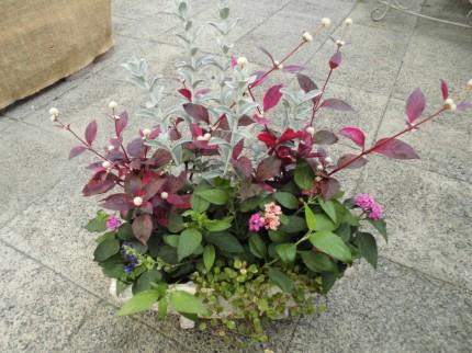 オシャレな鉢に植えてみました、秋の寄せ植え、プレゼントのもおすすめ寄せ植え、コプロスマ、葉っぱにツヤがあっておしゃれ!アルテルナンセラ、レッドフラッシュ、秋の寄せ植えをおしゃれにしてくれます、白い花をつけ赤葉の千日紅です、セロシア火祭り、秋の寄せ植えにぴったりのケイトウ入荷、燃えるような赤が魅力的です、飯田市庭つくり、外構工事、ガーデン、ガーデニング