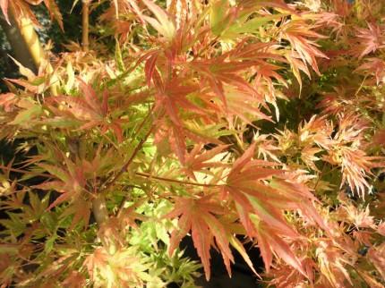 チシオモミジ、真っ赤に色づくことか鮮やかな庭木として人気の品種です、飯田市庭つくり、外構工事、ガーデン、ガーデニング