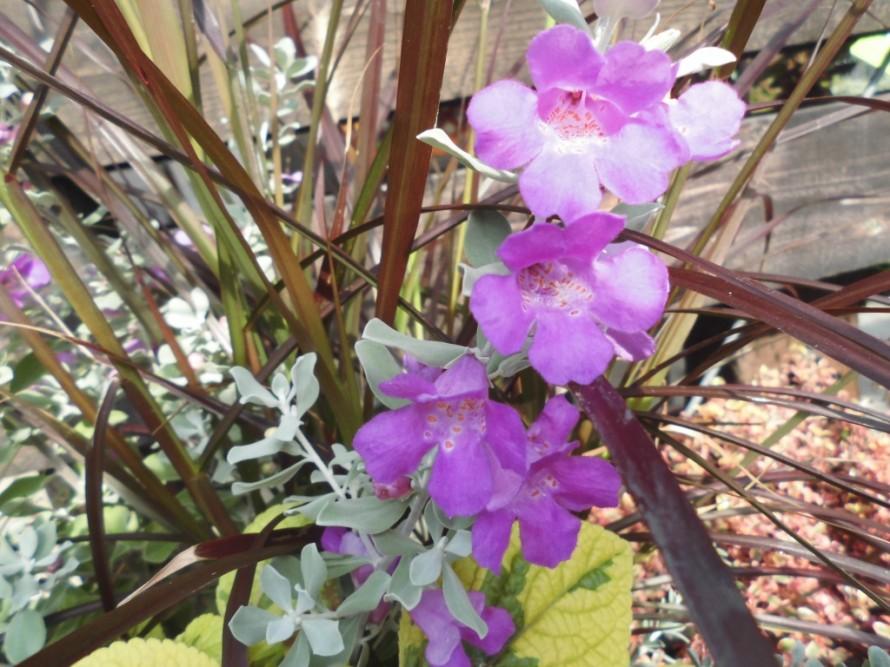 レウコフィルム、シルバーリーフとしても大活躍で濃いピンク色のお花も楽しめます、寄せ植えに使うと華やかになります、飯田市庭つくり、外構工事、ガーデン、ガーデニング