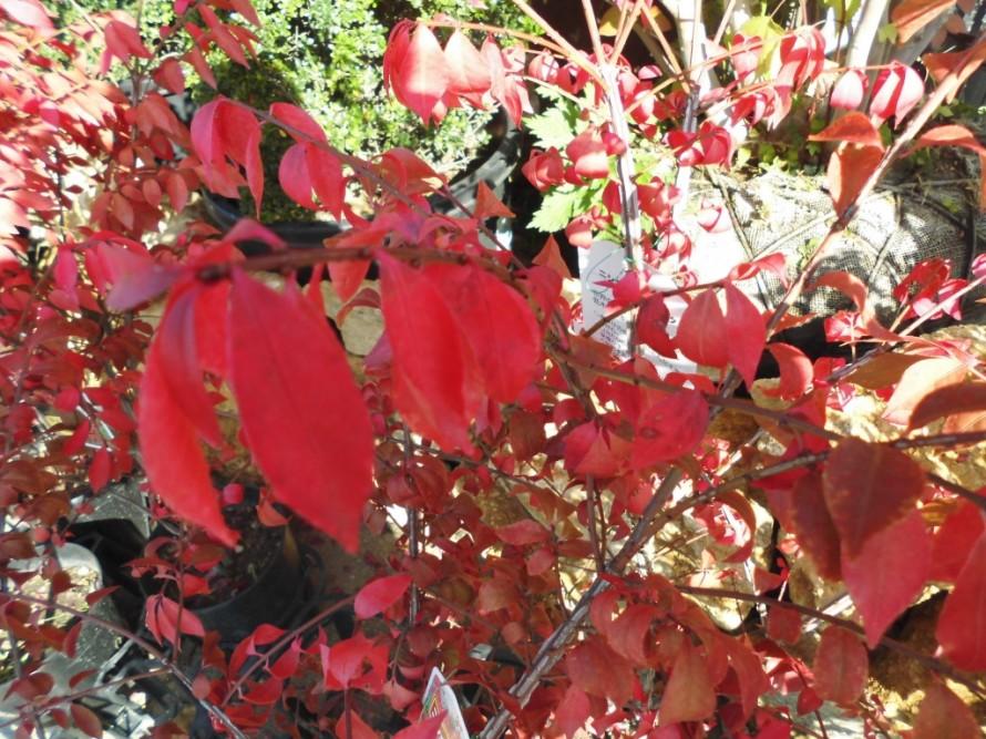 ニシキギ、錦を思わす秋の紅葉の美しさが最大の魅力、キンモクセイ、花の香りが秋の訪れを知らせてくれるキンモクセイ、丈夫で育てやすく庭木としても人気の花木です、飯田市庭つくり、外構工事、ガーデン、ガーデニング