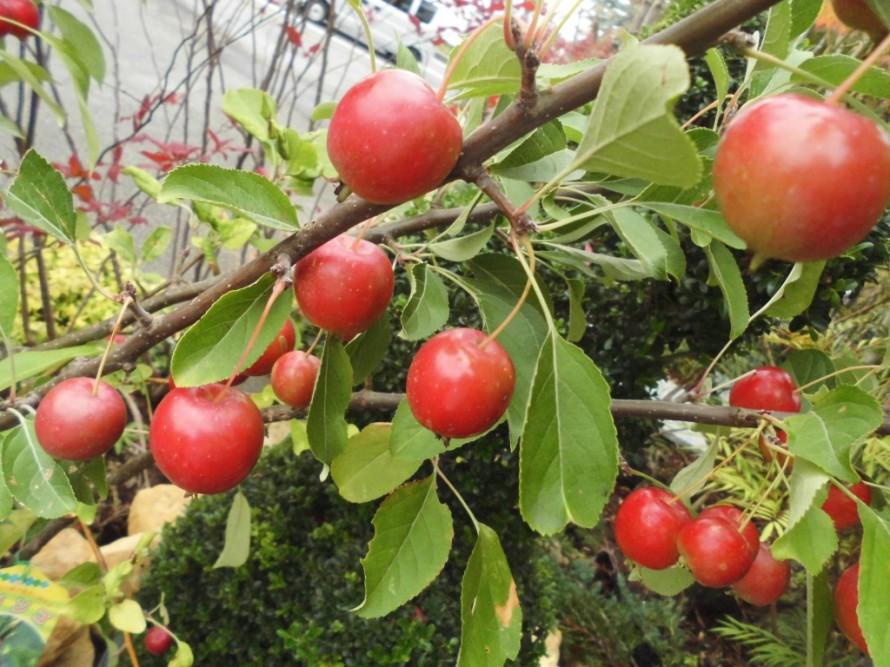 姫リンゴ、観賞用姫リンゴ、サクランボのような実が鈴なりになってできる品種です、春には白い花がは楽しめます、飯田市庭つくり、外構工事、ガーデン、ガーデニング