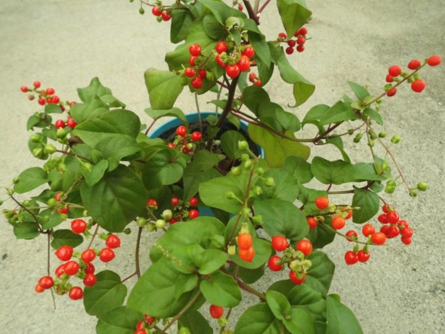 ジュズサンゴ、実とお花を同時に楽しむことができるので観賞期間がながいジュズサンゴ、半つる性なので伸びていきます、姫リンゴ、観賞用姫リンゴ、サクランボのような実が鈴なりになってできる品種です、春には白い花がは楽しめます、飯田市庭つくり、外構工事、ガーデン、ガーデニング