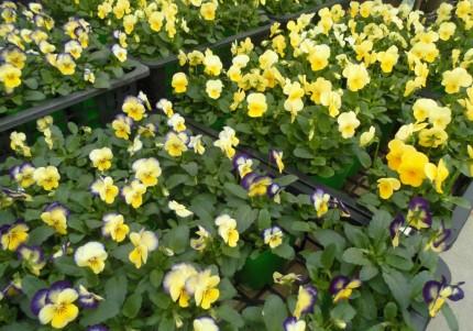 ビオラ入荷いたしました、花持ち花上がり抜群のビオラ、秋から春まで長く楽しめるビオラ、冬の寄せ植えにぴったり!飯田市庭つくり、外構工事、ガーデン、ガーデニング