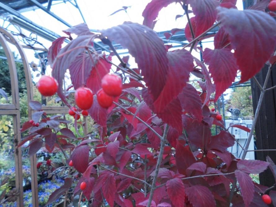 男ヨウゾメ、秋の紅葉がとても綺麗な植木です、5月頃には小さなお花も楽しめて秋には赤い実をつけます、ビオラ入荷いたしました、花持ち花上がり抜群のビオラ、秋から春まで長く楽しめるビオラ、冬の寄せ植えにぴったり!飯田市庭つくり、外構工事、ガーデン、ガーデニング