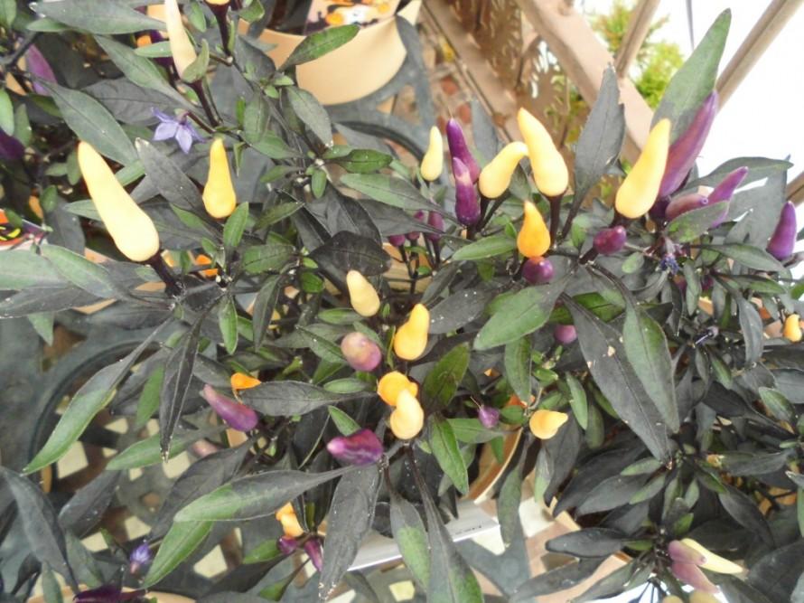 観賞用トウガラシ、ダークパープルからオレンジ色に色が変化します、ハロウィンにぴったりなトウガラシ、男ヨウゾメ、秋の紅葉がとても綺麗な植木です、5月頃には小さなお花も楽しめて秋には赤い実をつけます、ビオラ入荷いたしました、花持ち花上がり抜群のビオラ、秋から春まで長く楽しめるビオラ、冬の寄せ植えにぴったり!飯田市庭つくり、外構工事、ガーデン、ガーデニング