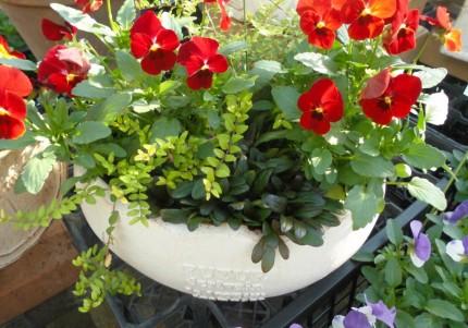 ビオラの寄せ植え、長く楽しめるビオラの寄せ植えです、球根も一緒に植えてあげるとさらに楽しめます、飯田市庭つくり、外構工事、ガーデン、ガーデニング