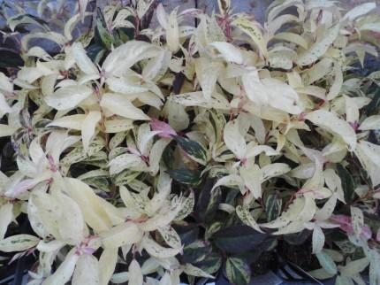 冬のお庭を明るく彩ってくれる西洋岩ナンテンのレインボーやシルバーリーフとしてもおすすめのシロタエギク、パンジーやビオラと一緒に花壇や寄せ植えにもおすすめ、長野県飯田市でお庭のことでお困りの方はなんでもお聞きください