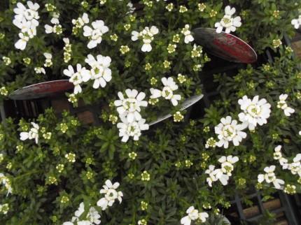 イベリスブライダルブーケ、寒い冬のお庭でも大活躍のイベリス、パンジーやビオラと一緒に楽しめちゃいます、冬のお庭を明るく彩ってくれる西洋岩ナンテンのレインボーやシルバーリーフとしてもおすすめのシロタエギク、パンジーやビオラと一緒に花壇や寄せ植えにもおすすめ、長野県飯田市でお庭のことでお困りの方はなんでもお聞きください