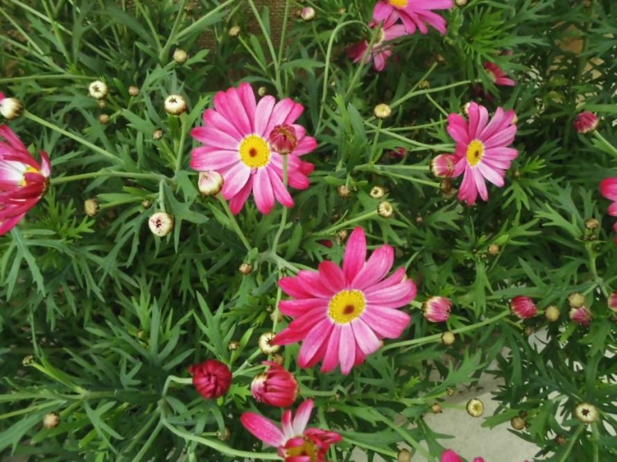 マーガレット ディープローズ、春の訪れをつげるマーガレットでかごもりに入れても可愛い、飯田市でお庭のことなら何でもご相談ください