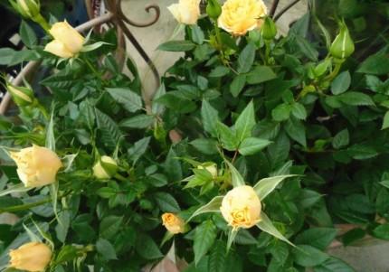 ミニバラ マーガレット ディープローズ、春の訪れをつげるマーガレットでかごもりに入れても可愛い、飯田市でお庭のことなら何でもご相談ください