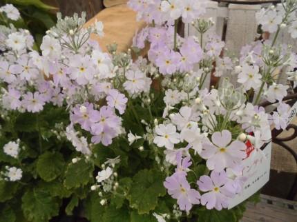 圧倒的な花数が人気のプリムラマラコイデス ウィンティーサクラ 春の訪れをつげるチューリップで毎年お花を楽しむことができます ミニバラ マーガレット ディープローズ、春の訪れをつげるマーガレットでかごもりに入れても可愛い、飯田市でお庭のことなら何でもご相談ください