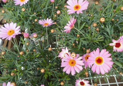 春の訪れを知らせてくれるマーガレット入荷いたしました、春と秋にお花を楽しめるマーガレット入荷しました かごもりもお作り出来ます、飯田市でお庭のことなら何でもご相談ください