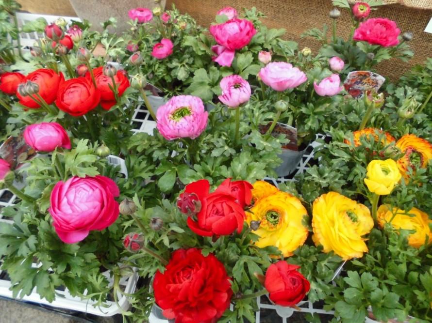 ラナンキュラス アヤリッチ入荷いたしました、発色がとても美しい品種のラナンいキュラスで寄せ植えにしてもかごもりにいれても可愛いく春らしくなります、飯田市でお庭のことならなんでもご相談ください