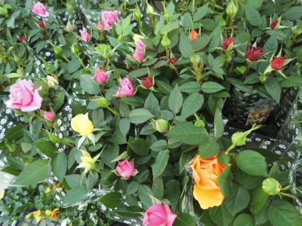 ハゴロモジャスミン レッドスター、ラナンキュラス アヤリッチ入荷いたしました、発色がとても美しい品種のラナンいキュラスで寄せ植えにしてもかごもりにいれても可愛いく春らしくなります、飯田市でお庭のことならなんでもご相談ください