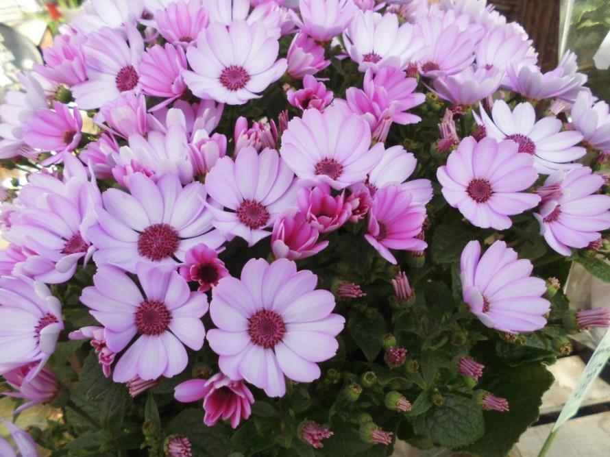 セネシオキオウ、色の種類も豊富でこの時季欠かせないお花です、贈り物にも喜ばれます、ハゴロモジャスミン レッドスター、ラナンキュラス アヤリッチ入荷いたしました、発色がとても美しい品種のラナンいキュラスで寄せ植えにしてもかごもりにいれても可愛いく春らしくなります、飯田市でお庭のことならなんでもご相談ください