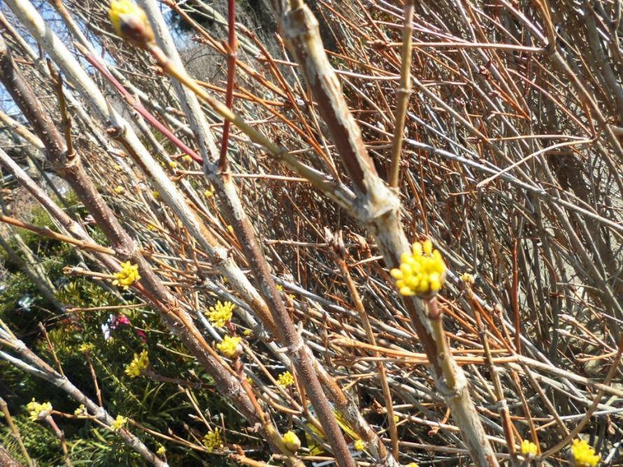 サンシュユまだ肌寒いうちから可愛らしい黄色の花を咲かせて春の訪れを知らせてくれます 飯田市でお庭のことなら何でもご相談ください