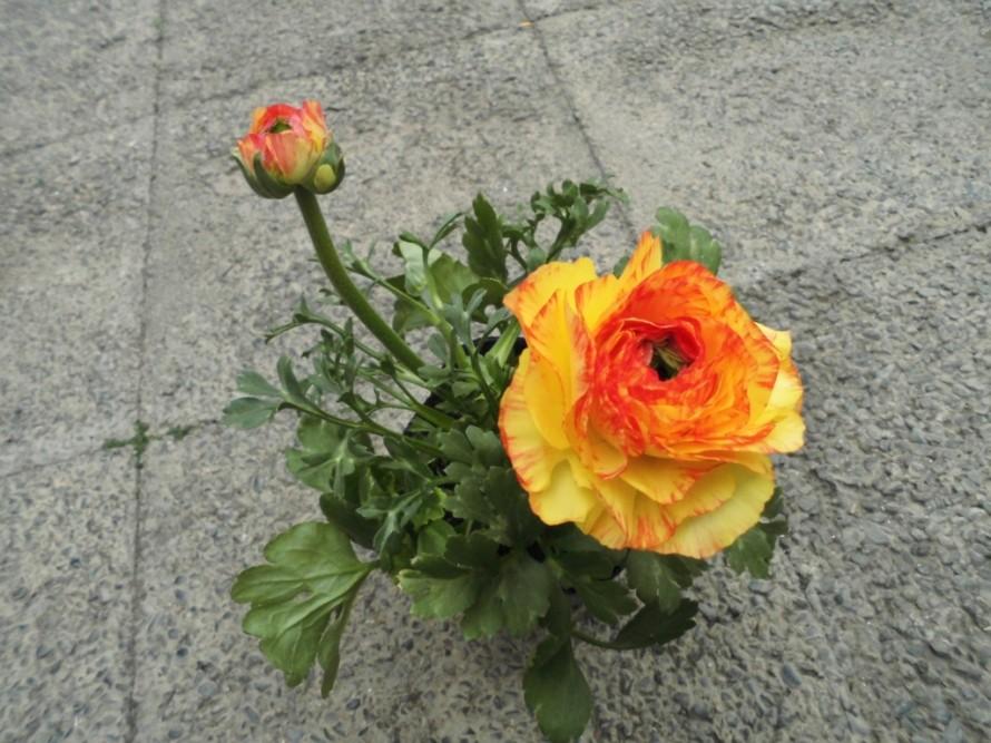 ラナンキュラスワンダーランド入荷いたしましたお花が大きく色鮮やかな品種です春を明るく彩ってくれます贈り物にもおすすめ、飯田市でお庭のことなら何でもお気軽にご相談ください