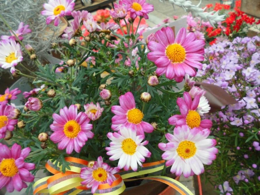 マーガレットコンパクトディープローズ人気のモリンバシリーズですしっかりお花が楽しめます春と秋にも楽しめます マーガレットぽぽたん咲きが進むにつれてだんだんたんぽぽのように変化していきます、飯田市でお庭のことなら何でもお気軽にご相談ください