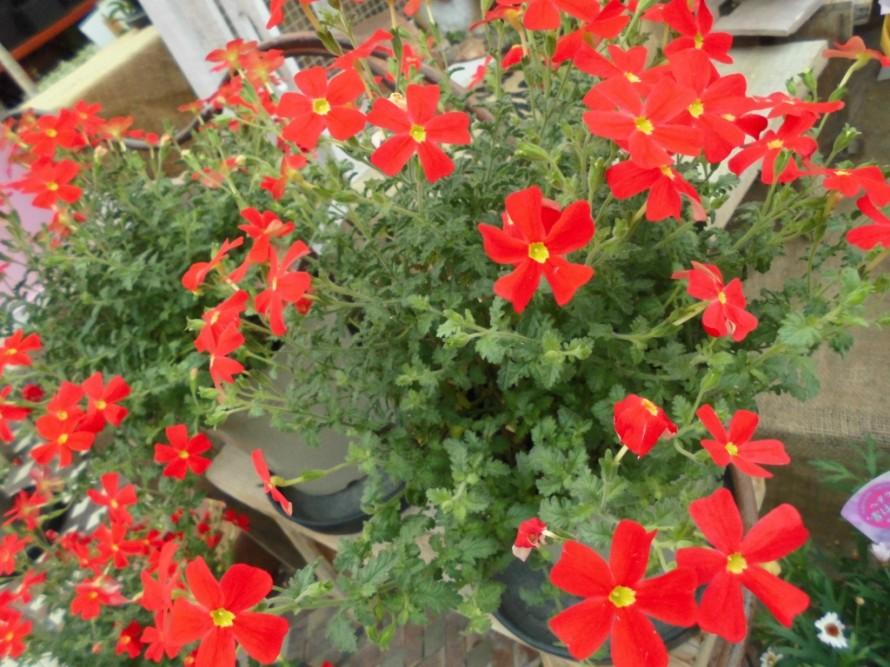 サンブリテニアスカーレット鮮やかな赤がとても目を引きます可愛らしいお花も魅力的です、お花の贈り物にもおすすめです、飯田市でお庭のことならなんでもお気軽にご相談ください