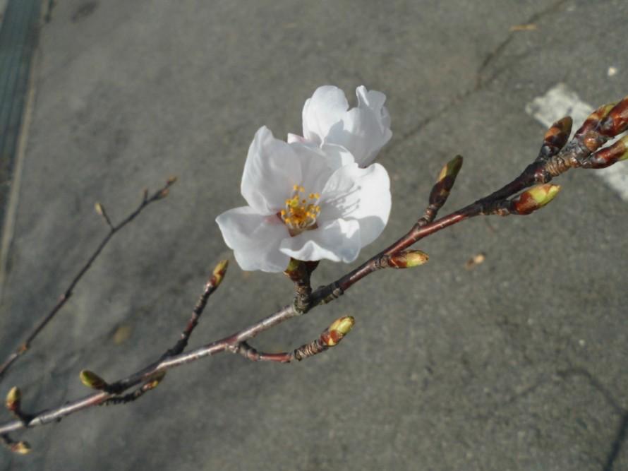 4月にはいりお店の桜も花を咲かせ始めました花桃もだいぶ蕾がふくらんできています、飯田市でお庭の事なら何でもお気軽にご相談ください