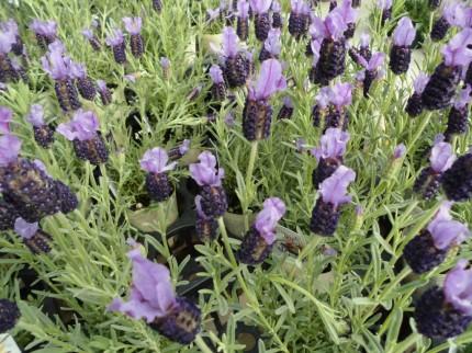ラベンダーバンデラピンク ラベンダーストエカス 寄せ植えにもかごもりにもおすすめラベンダー 飯田市でお庭の事なら何でもお気軽にご相談ください