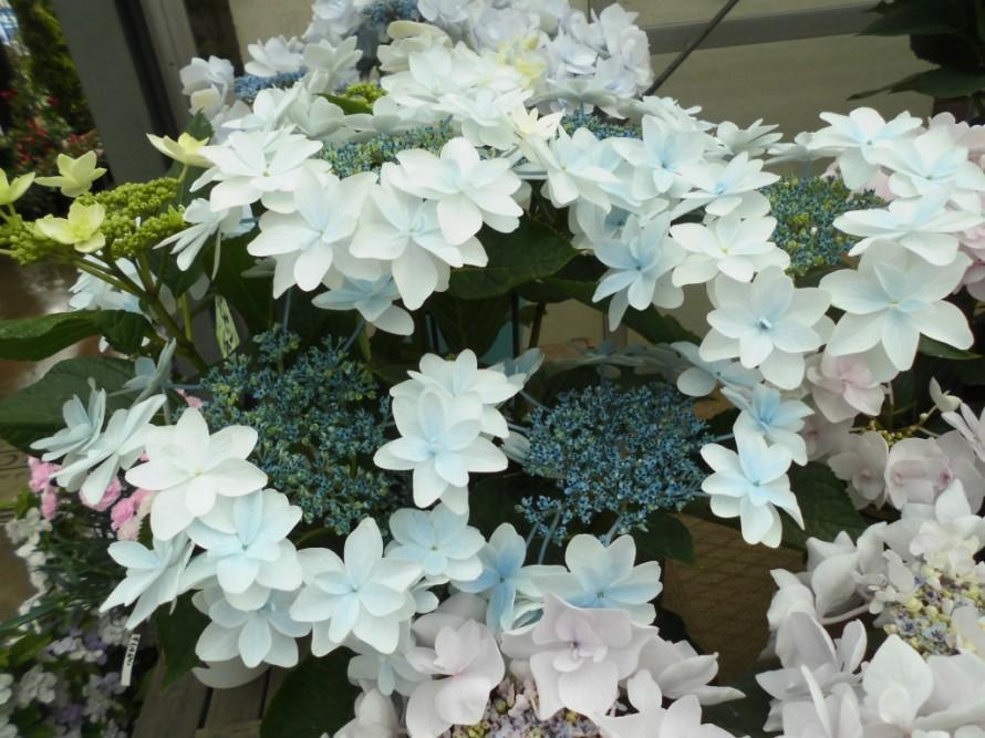 今日は母の日MOTHERSDAYです日頃の感謝の気持ちを込めてお花の贈り物はいかがですか こちょうらんやアジサイなど母の日カーネーションもたくさん入荷しておりますかごもりもたくさんご用意してお待ちしております長野県下伊那郡飯田市こうかくえん黄鶴園 飯田市でお庭のことなら何でもお気軽にご相談ください